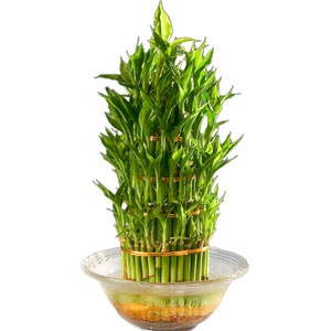 Three Tier Bamboo Plant in Bowl