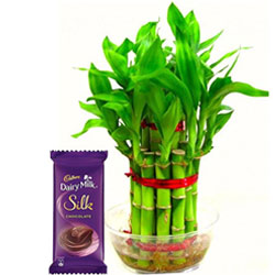 Yummy Cadbury Silk Chocolate Bar with Lucky Bamboo Plant