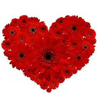 Passionate Arrangement of Two Doz Red Gerberas in Heart Shape