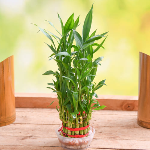 Beautiful Gift of 2 Tier Lucky Bamboo in Glass Pot
