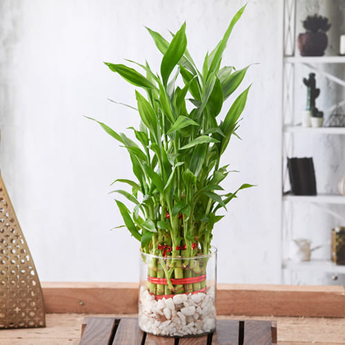 Good Luck 3 Tier Bamboo Plant in Glass Pot