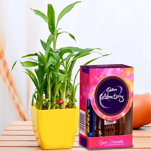 Breathtaking Combo of 2 Layer Bamboo Plant in a Glass Pot with Cadbury Celebration Mini Pack