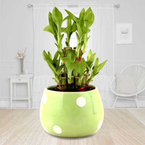 Indoor Present of 2 Layer Lucky Bamboo Plant in Ceramic Pot