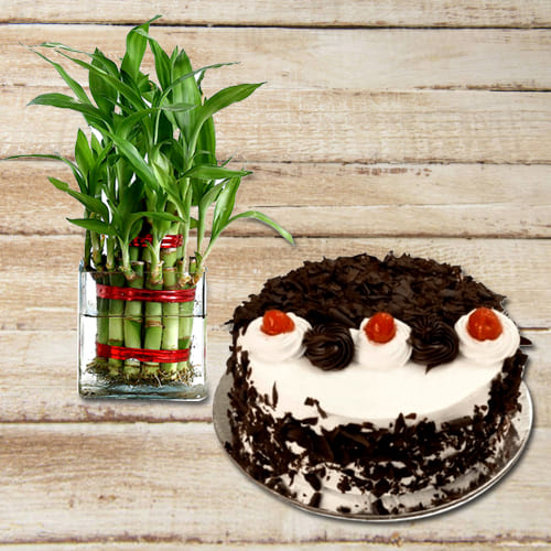 Lucky Bamboo 2 Layer Feng Shui Plant with Black Forest Cake