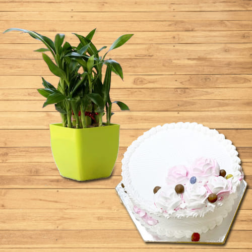Attractive 2 Tier Good Luck Bamboo Plant in Plastic Pot with Vanilla Flavor Cake