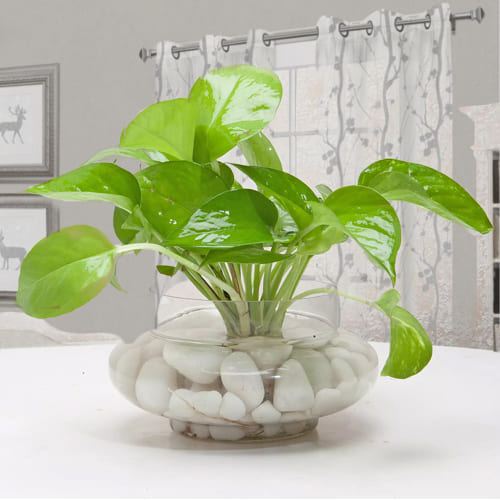 Fast-Growing Money Plant in Glass Vase