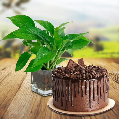 Just For You Money Plant in Glass Pot with Chocolate Cake
