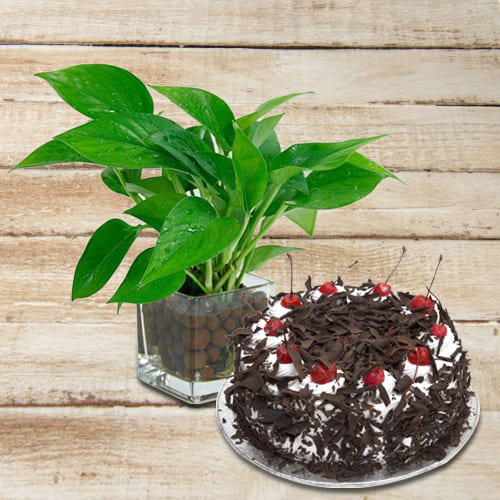 Evergreen Money Plant in Glass Pot with Delicious Black Forest Cake