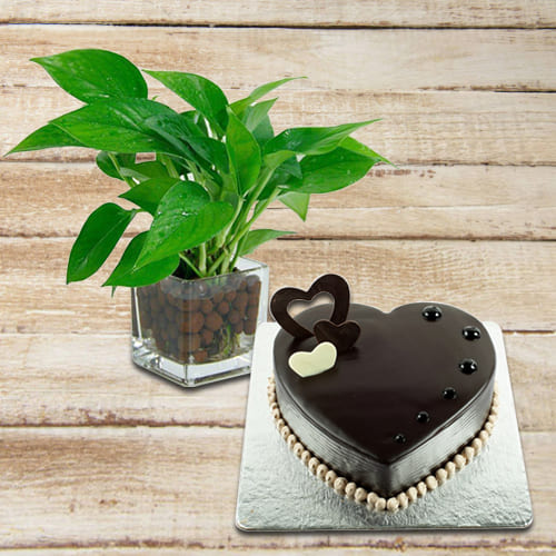 Premium Gift of Money Plant in Glass Pot with Chocolate Cake in Heart Shape