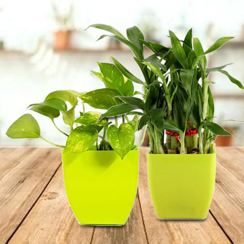 Blooming Gift Pack of Lively Money Plant and 2 Tier Lucky Bamboo Plant