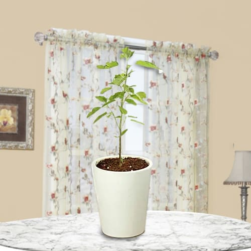 Evergreen Holy Tulsi Plant in a Glass Pot