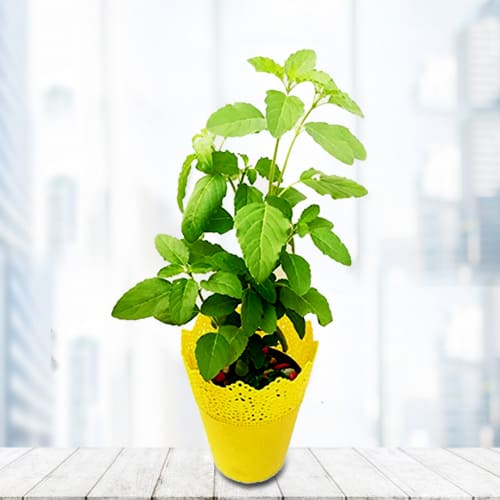 Healthy Wishes Tulsi Plant in a Decorative Plastic Pot