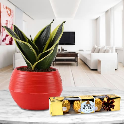 Captivating Gift Pack of Ferrero Rocher Chocolate with Milt Sanseveria Plant