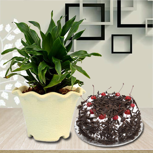 Evergreen Dracenea Compacta Air Purifying Plant with Black Forest Cake