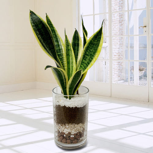 Charming Snake Plant in a Glass Pot