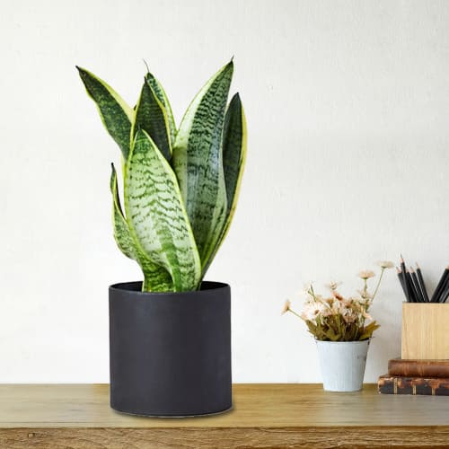 Healthy Selection of Snake Plant in a Plastic Pot