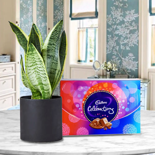 Exotic Gift of Snake Plant in a Plastic Pot with a Pack of Cadbury Celebration