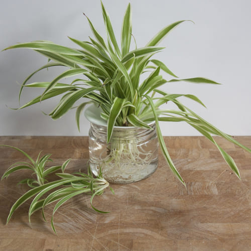 Classic Selection of Spider Plant in a Glass Container