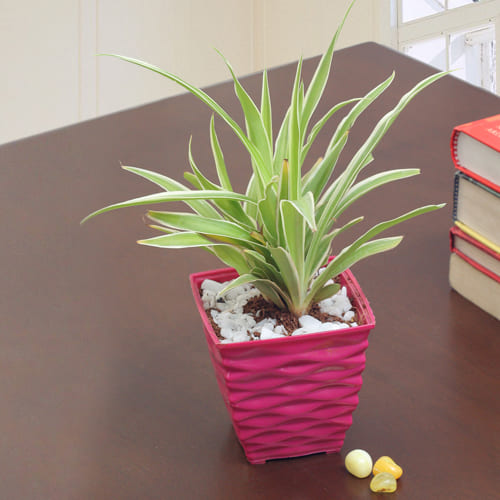Blossoming Spider Plant in a Plastic Planter