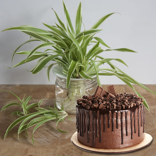 Elegant Combo of Spider Plant in a Glass Planter with Delectable Chocolate Cake
