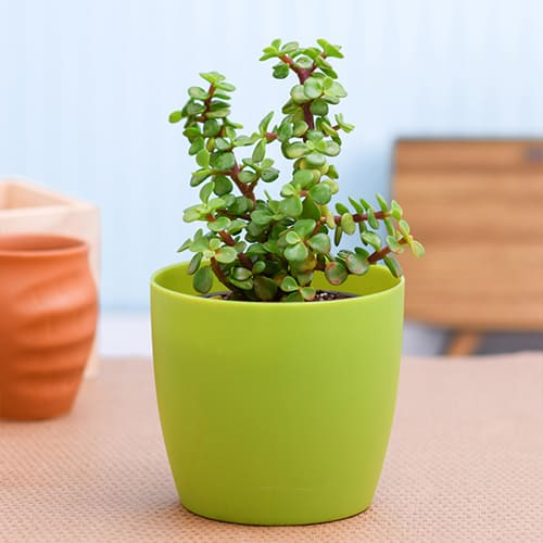 Ever-Blooming Jade Plant in a Plastic Container