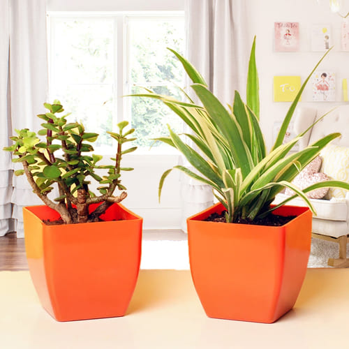 Blossom-Filled Combo of Jade Plant and Spider Plant in Attractive Plastic Pots