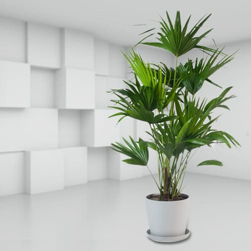 Hue of Green China Palm in a Ceramic Container