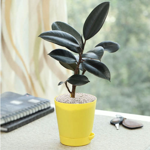 Outdoor Rubber Plant in a Plastic Container with White Chips