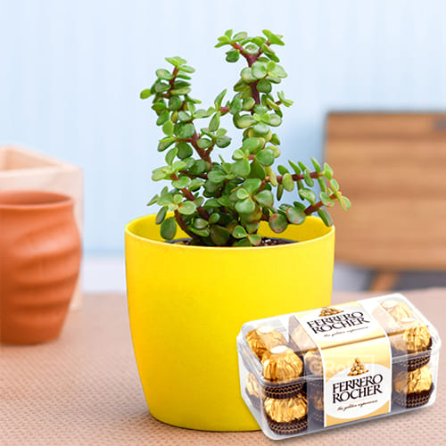 Exquisite Housewarming Gift of Jade Plant in a Classy Plastic Pot with Ferrero Rocher Pack
